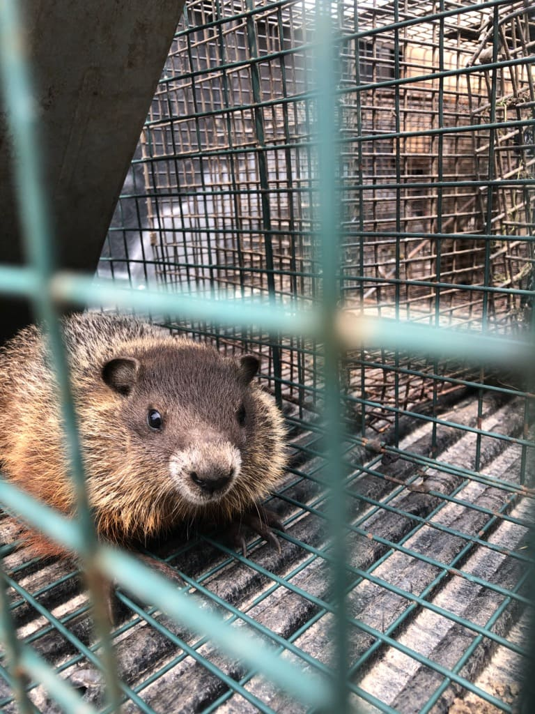 Groundhogs Removal